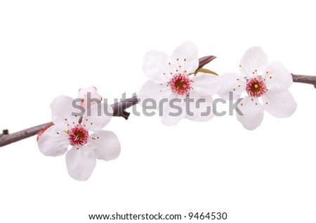 pink fruit-tree flowers isolated on white - stock photo