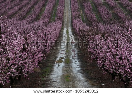 Pink fruittrres in rows