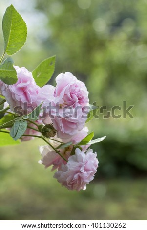 Pink garden roses on green natural blured background. Selective focus - stock photo