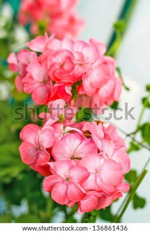 Pink Geranium - stock photo