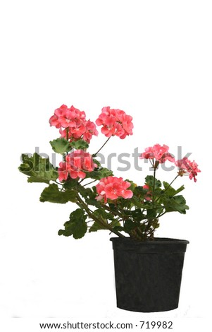 Pink geranium - stock photo