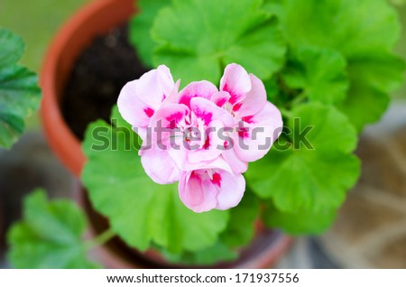 Pink Geranium flower in the flower pot on the green leaf background - stock photo
