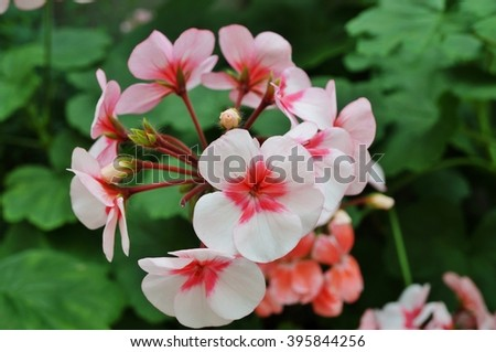 Pink geranium (pelargonium) flowers in bloom