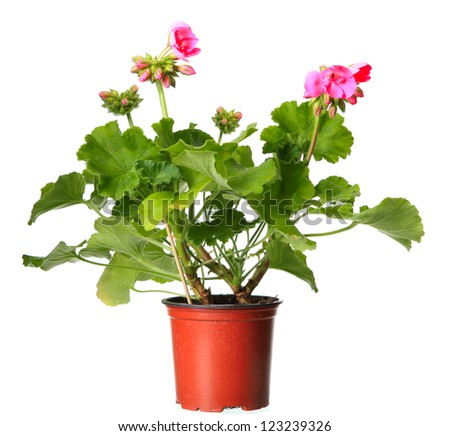 Pink geraniums in a pot isolated on a white background - stock photo