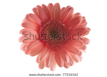 Pink Gerbara Daisy isolated on white