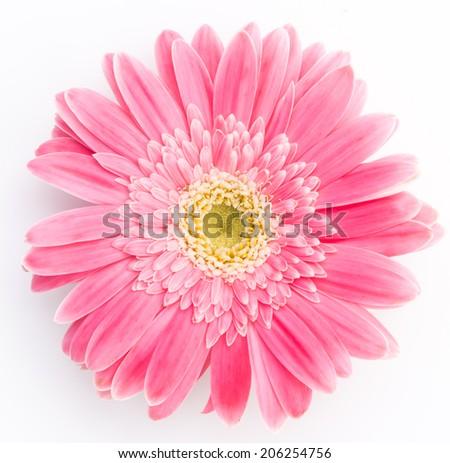 Pink gerber a flower - stock photo