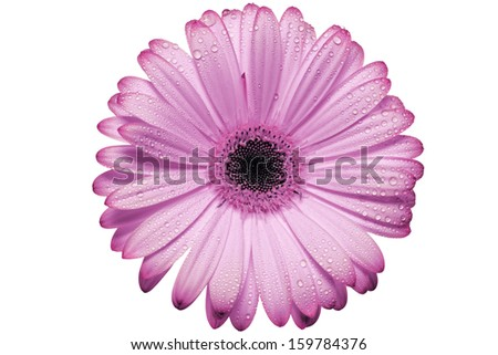 Pink Gerber daisy blossom isolated on white background