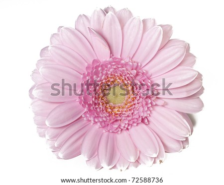 Pink Gerber flower in full bloom in white background