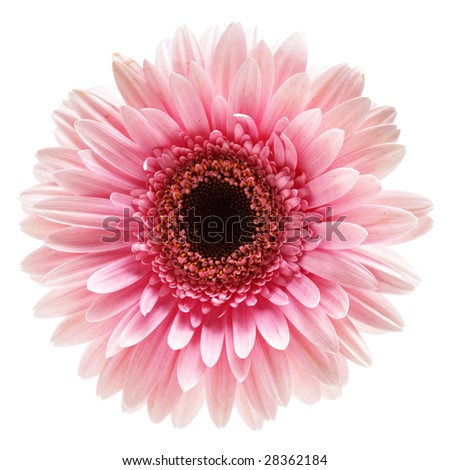 Pink gerber flower isolated over white background - stock photo