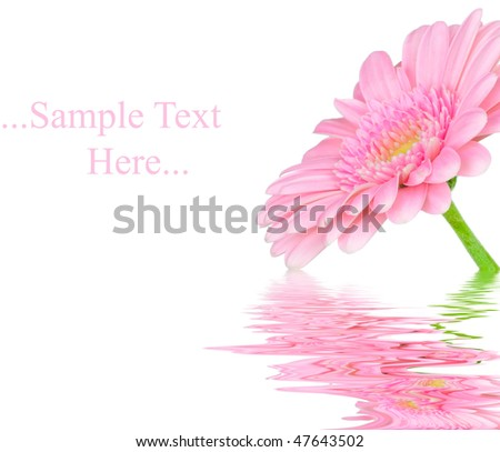 Pink gerber in water isolated on white background - stock photo