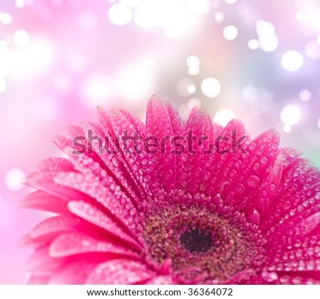 Pink gerber on water drop - stock photo