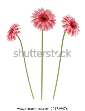 pink gerbera daisies flowers isolated on white background - stock photo