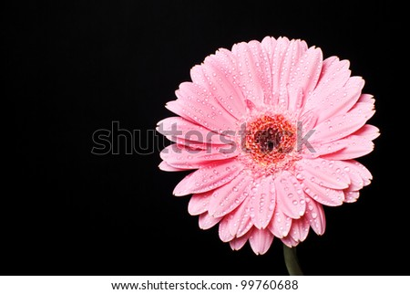 Pink gerbera daisy flower with water drops on a black background
