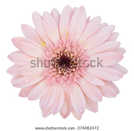 pink gerbera flower isolated on white with clipping path - stock photo