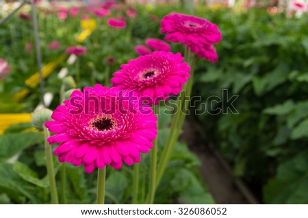 pink gerbera flowers in a greenhouse - stock photo