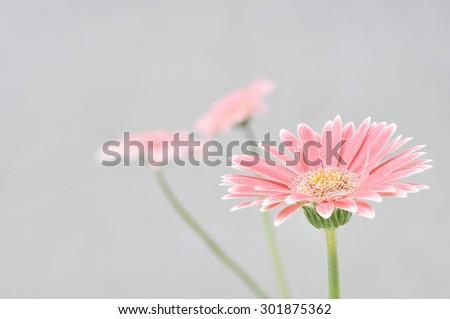 Pink gerbera on gray wall background  - stock photo