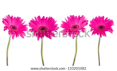 Pink gerbers flowers isolated - stock photo