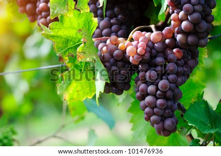 Pink grape - stock photo