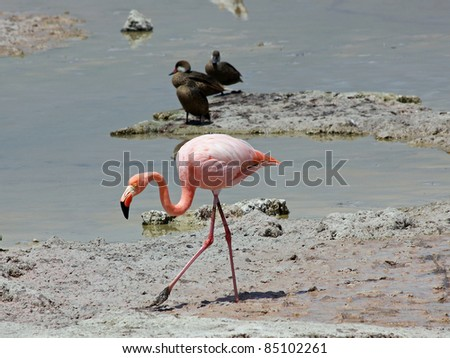 Pink Greater Flamingo (Phoenicopterus roses) in the Galapagos Islands - stock photo