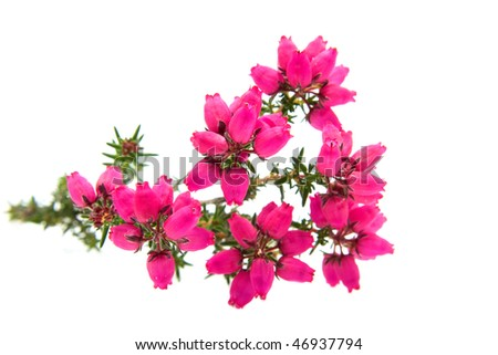 pink Heather flower in closeup isolated on white background - stock photo