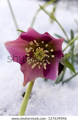 Pink  Hellebore (Helleborus niger) or Christmas Rose flowers in their natural habitat,  shallow DOF