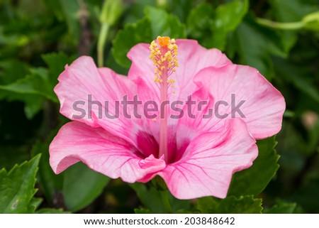 Pink Hibiscus flower - stock photo