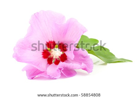 Pink Hibiscus flower in closeup over white background