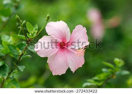 Pink Hibiscus flower in garden. - stock photo