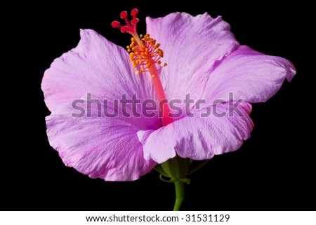 Pink hibiscus isolated on black background.  Clean pure black background- no grey!