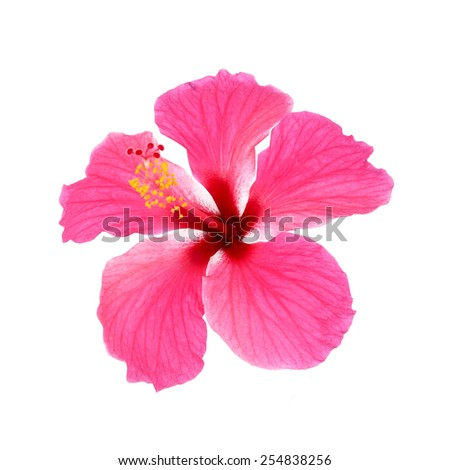 Pink hibiscus isolated on white background - stock photo
