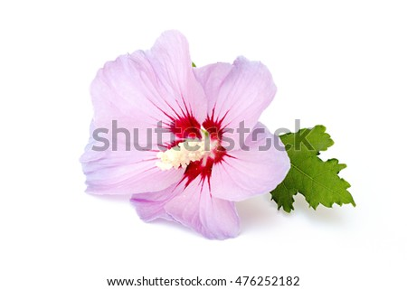 pink hibiscus on a white background