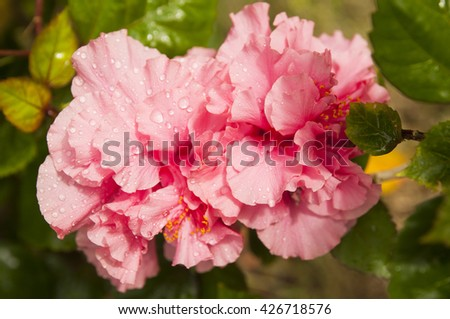 Pink hibiscus with a water drops - stock photo