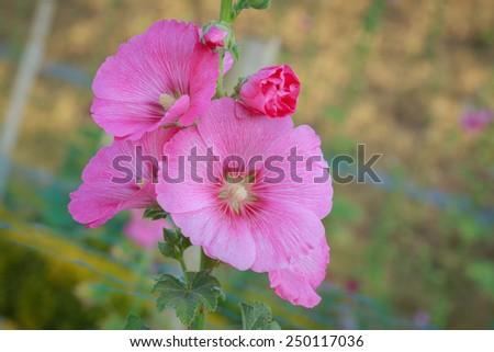 Pink hollyhock flower in the garden - stock photo