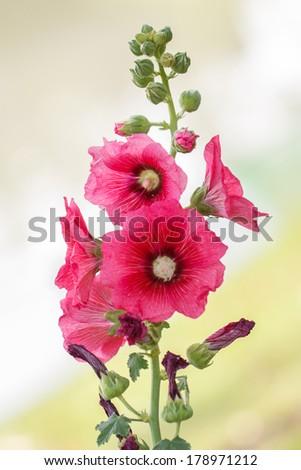 Pink hollyhock flower in the garden,Closeup - stock photo