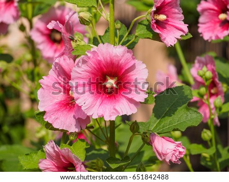 Pink hollyhock perennial flower on tall stock photo royalty free pink hollyhock perennial flower on tall stalks beautiful flowers hollyhocks always attracted the attention mightylinksfo