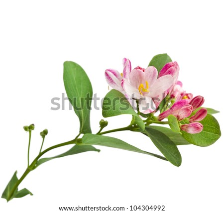Pink honeysuckle in blossom (Lonicera tatarica ) close up isolated on white background - stock photo