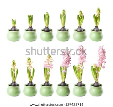 Pink hyacinth in twelve stages of growth - stock photo