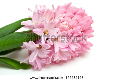 pink hyacinth  isolated on white background