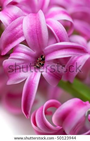 Pink hyacinth (macro, shallow depth of field) - stock photo
