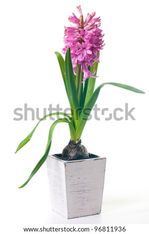 Pink Hyacinth with leaves on white background