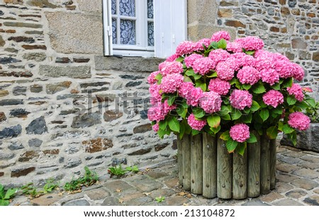 Pink hydrangea bush in wooden pot outside the old stone house under the window with lace curtain and metal shutters. Dol de Bretagne, Brittany, France.  - stock photo