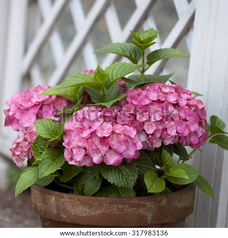pink hydrangea in the pot at the white fence - stock photo