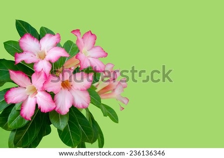 Pink impala lily close up on green background - stock photo