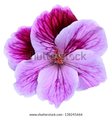 Pink isolated flower - stock photo
