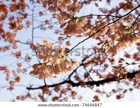 Pink Japanese Cherry blossoms on branches overhanging the Tidal Basin in Washington DC - stock photo