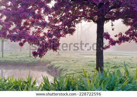 Pink Japanese cherry tree in the morning misty light, spring garden Stromovka in Prague, Czech republic - stock photo