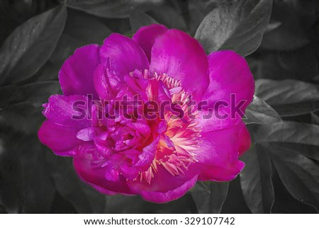 Pink Japanese peony digitally painted against black and white background,digital oil painting - stock photo