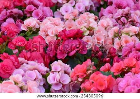 Pink Kalanchoe blossfeldiana - Flaming Katy flower - stock photo