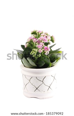 Pink Kalanchoe flowering pot plant with buds in terracotta pottery bowl - stock photo