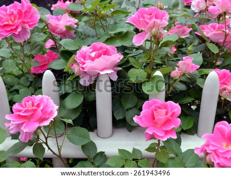Pink Knockout Roses on Wooden Fence - stock photo